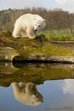 Baby polar bear cub on log
