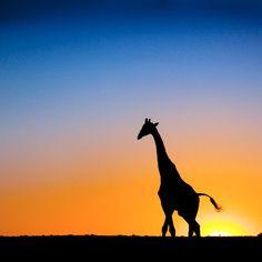 Une belle girafe au couché du soleil!