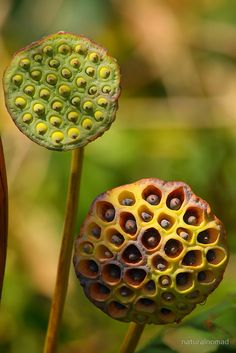 Lotus Seed Pods by naturalnomad