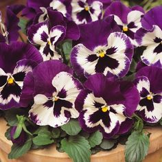 Beautiful white pansies edged with purple and finished with a dark blotch, Pansy Matrix Purple and White is a great source of winter colour.  These winter pansies are taken from the Matrix series, the best performer in our trials.    Flowering for longer than normal winter pansies, this variety not only resists stretching but produces large blooms on compact, well shaped plants.  When combined with other colours from the Matrix range, they'll flower at roughly the same time and grow to a ...