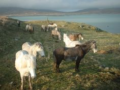 Today the Eriskay is rare. Its population is considered to be at critical status by the UK-based Rare Breeds Survival Trust, meaning that there are 300 or fewer breeding females registered in the world today. In 2006, there were believed to have been around 300 mares and 4 purebred stallions, and by 2009 this number had risen to around 420 ponies worldwide. Img: Eriskay Ponies | IAIN'S PICTURE BLOG.
