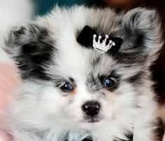 ♥♥♥ Teacup Pomeranians! ♥♥♥ Bring This Perfect Baby Home Today! Call 954-353-7864 www.TeacupPuppies... ♥ ♥ ♥ TeacupPuppiesStore - Teacup Puppies Store Tea Cup
