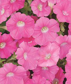 Rose Wave™ Hybrid Petunia