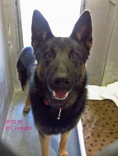 Cricket - a shocking German shepherd at animal control  https://www.facebook.com/photo.php?fbid=774576945887478&set=a.705235432821630&type=1&theater