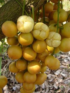 Burmese grapes (Baccaurea ramiflora),