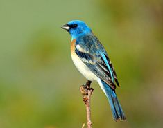 Lazuli Bunting...played and played with my daughter when she was little...teasing her...coming just close and then moving just far enough away as she tried to capture him in her chubby little hands...