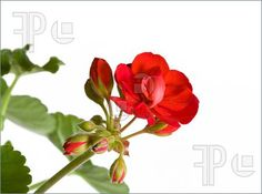 Picture of Botanical - Flower & Plants - red geranium inflorescence isolated on white background.