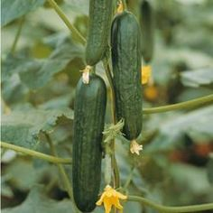 Organic Cucumber 'Picolino' 'Hybrid -  Crisp, juicy half-length mini cukes ideal for slicing and used for one meal with no waste. tmseeds.com