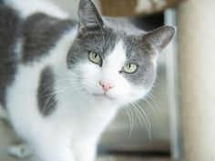 I LOVE grey and white cats