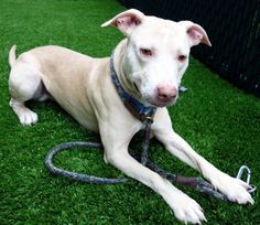 SAFE❤️❤️ 10/28/17 Manhattan Center My name is BUTTONS. My Animal ID # is A1125156. I am a male cream am pit bull ter mix. The shelter thinks I am about 1 YEAR I came in the shelter as a STRAY on 09/11/2017 from NY 10031, owner surrender reason stated was OWN EVICT. http://nycdogs.urgentpodr.org/buttons-a1125156/