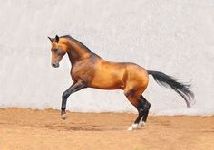Akhal-teke horse This is an Exquisite breed, the sheen is golden and mesmerizing when viewing in sun light. Thks for the pictures ISF