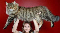Rupert the Main Coon cat, may be the largest in the world...and he is still growing! Click the photo to read more about him.