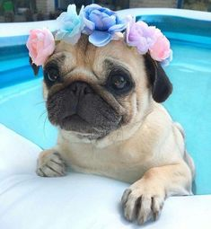 CUTEST PUG PUPPIES EVER! Here is your pugrific pug dose of deadly cuteness! Lets spread the love! Save this image to your pugs board! Cute Baby Pugs, Baby Animals Super Cute, Cute Little Animals, Cute Dogs And Puppies, Cute Funny Animals, Doggies, Cute Animal Pictures, Dog Pictures, Dog Photos