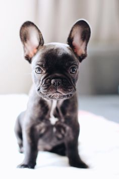 'Biscuit' The French Bulldog