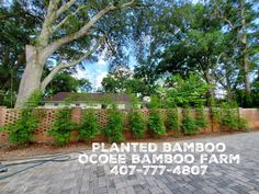 ect #orlando #tampa #jacksonville #northflorida Yard Privacy, Privacy Hedge, Privacy Plants, Bamboo Plants For Sale, Buy Bamboo, Clumping Bamboo, Jackson Ville, Flo Rida, Central Florida