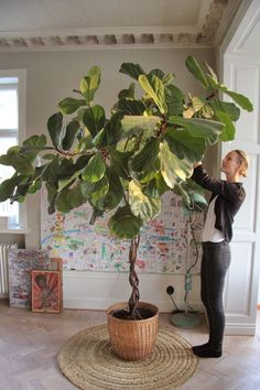 Easy Step by Step Sourcing Guide for Modern Home Decoration Ficus Lyrata – Malin Persson Elle Decoration The Best of home indoor in Potted Plants, Indoor Plants, Indoor Trees, Pots For Plants, Plant Pots, Hanging Plants, Plantas Indoor, Decoration Plante, Growing Gardens