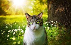Kat, Binnenlandse Kat, Huisdier