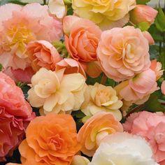 Begonia Aromantics®