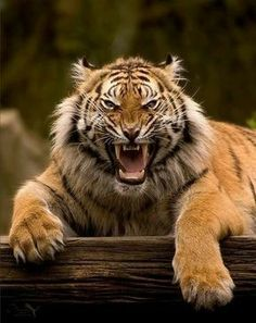 So beautiful So very pissed off tiger!!