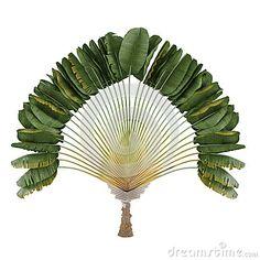 Palm plant. Ravenala madagascariensis by Denys Kurylow, via Dreamstime