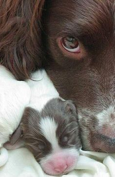 English Springer Spaniel Thank You FROM THE DOG Poem 8 x 10 Picture//10x8 Print-2