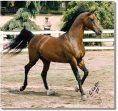 "Bay el Bey. described by film producer and Arabian owner Mike Nichols, ""Bay El Bey changed the Arabian horse in America and then in the rest of the world.... His special combination of intelligence, disposition, size, motion, and type redefined the horses we are breeding."""
