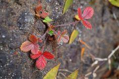 紅葉イチゴ  #紅葉 #植物
