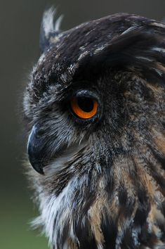 Eagle Owl IV by Schoelli.deviantart.com on @DeviantArt
