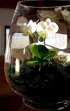 Orchid Terrarium - white-moth-orchid- ⓒ Michaela at TGE ! A tiny Phalaenopsis orchid , ('The White Moth') , displayed in an open terrarium lined with pea stone/charcoal mix, and filled with a bed of bark, sphagnum and sheet moss… Mini Terrarium, Orchid Terrarium, Moth Orchid, Phalaenopsis Orchid, Orchid Care, Air Plants, Indoor Plants, Pea Stone, Orchid Fertilizer