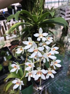 Sarcochilus falcatus. Orchidaceae: Aeridinae. By Kris Kopicki. [x]