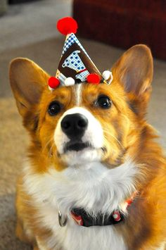 Daisy's Third Birthday! Because party hats. Birthday Corgi, Third Birthday, Best Dog Breeds, Best Dogs, Cardigan Welsh Corgi, Pembroke Welsh Corgi, Beautiful Friend, Corgis, Animal Party