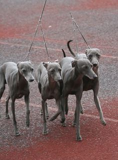 italian greyhounds--definitely gonna get a blonde greyhound...maybe it will inspire me to run lol