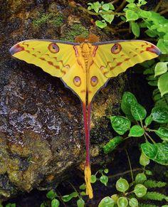 Beautiful Madagascar Comet Moth.