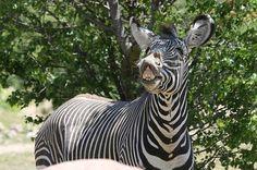 zebras - Google Search Zebras, Cooking Recipes, Google Search, Animales, Chef Recipes, Recipes