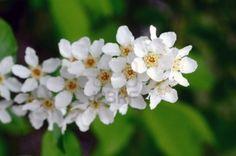 Gewöhnliche Traubenkirsche (Prunus Padus). Blühen im Frühjahr. Stockfoto