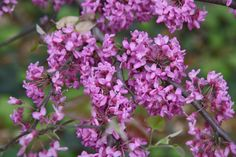 Redbud flowers close up.  These understory trees bloom in March and are located throughout ZBG.