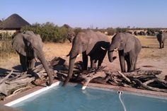 Elephants Drinking out the Swimming Pool at Nehimba Safari Lodge, Hwange, Zimbabwe - www.nehimba.com