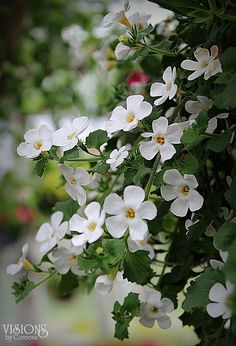 Bacopa plant. WEAR GLOVES WHEN HANDLING.  This plant has no scent, develops wooden-like branches, is beautiful to look at with small white flowers.  BUT it will make your hands stink horrible if you handle it longer than 10 seconds.  Good shrubbery.