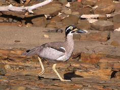 "ross scanlon on Twitter: ""A beach-stone Curlew #HerveyBay #BirdsofAustralia #Queensland https://t.co/WjTqu0AU1r"""