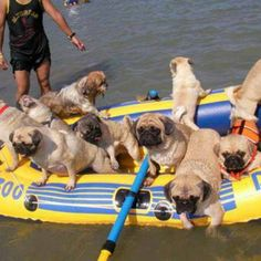 It's every pug for itself!