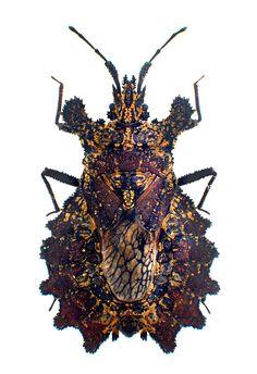Dysodius magnus