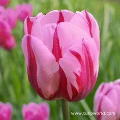 Add some whimsy and romance to your spring garden with this Pretty Princess Triumph Tulip. Pretty pink blooms have purple margins on this illustrious mid Spring blooming tulip. Spring Flowering Bulbs, Spring Plants, Spring Bulbs, Spring Garden, Bulb Flowers, Tulips Flowers, Daffodils, Spring Flowers, Garden Bulbs