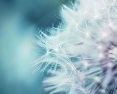 dandelion photography nature botanical art 8x10 by mylittlepixels