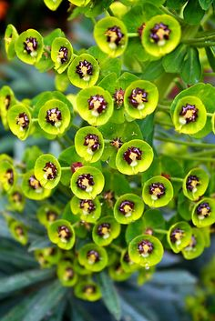 Closeup of Euphorbia plant. Used in traditional medicines (eg, Chinese), it has a caustic, milky sap. Many plants in the Euphorbiaceae family are dangerous if handled carelessly