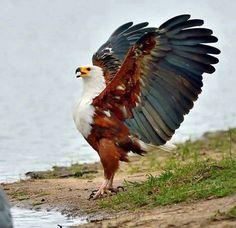 "I am eagle hear me roar. redjeep: ""a beautiful African Fish Eagle.""I am eagle hear me roar. redjeep: ""a beautiful African Fish Eagle. All Birds, Birds Of Prey, Love Birds, Pretty Birds, Beautiful Birds, Animals Beautiful, Photo Aigle, Animals And Pets, Cute Animals"