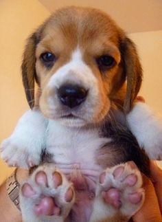 Little puppy paws. Oh my goodness look at him!! #Beagle