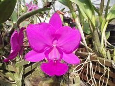 As orquídeas podem ser terrestres, arbustivas, litófitas (crescem em pedras), psamófitas (crescem na areia), saprófitas (crescem na turfa e em áreas com grande material em decomposição) e aquáticas (as mais raras). Há até uma espécie subterrânea na Austrália.
