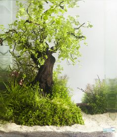 You can check out entries and vote for your favourite on the 2013 Dennerle Nanocobe contest here. This is a great take on the tree theme with hydrocotyle tripartitia sp. japan.  Here is all info: There's No Mermaid Sitting In Branches… Anastsia Melnikova (Saint Petersburg, Russia)  Aquarium Volume: 30 l Aquarium Age: 3 months Animals: Caridina japonica, Neocaridina denticulata Red Cherry Plants: Utricularia graminifolia, Blyxa japonica, Micranthemum sp. Monte Carlo 3, Hydrocotyle ...