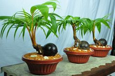 coco bonsai | in floriculture, coconut bonsai tree in a pot…….. COCO BONSAI ...