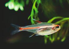 neon tetras tetra fish in 2018 pinterest aquarium fish and